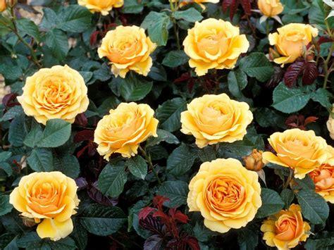imagenes de flores rosas amarillas rosas amarillas silvestres im 225 genes y fotos