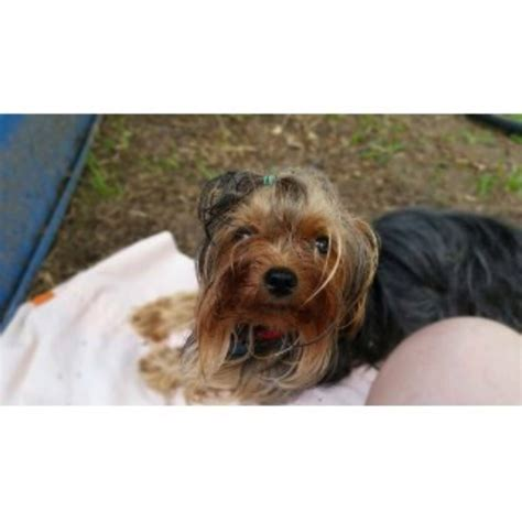 yorkie puppies for sale in shreveport la sweetheavenlyyorkies terrier breeder in shreveport louisiana