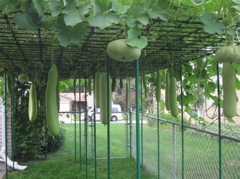 growing vegetables in backyard bottle gourd squash growing in backyard vegetable garden like they grow in guyana