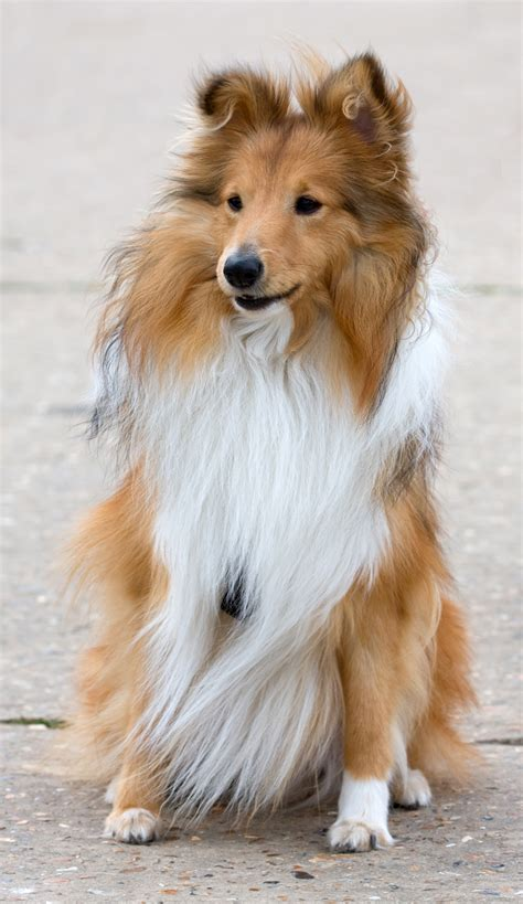 sheltie dogs sheltie free stock photo domain pictures