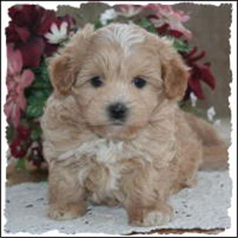 shih tzu puppies for sale in chattanooga tn maltipoo puppies for sale