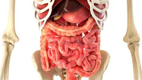 organi interni rappresentazione degli organi interni e corpo umano 3d