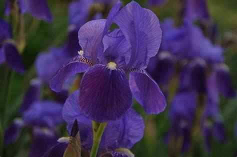 tennessee state flower tn state flower iris beautiful tennessee pinterest