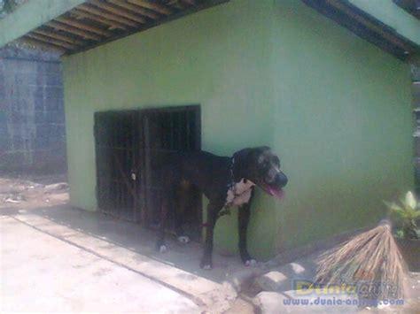 Jual Karung Goni Daerah Tangerang dunia anjing jual anjing american pit bull terrier