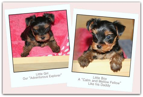 8 week yorkie puppies terrier puppies 8 weeks dogs in our