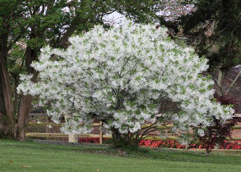 trees nc plant fringe tree for three season appeal audubon