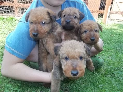 terrier puppies for sale pin terrier puppies for sale by on