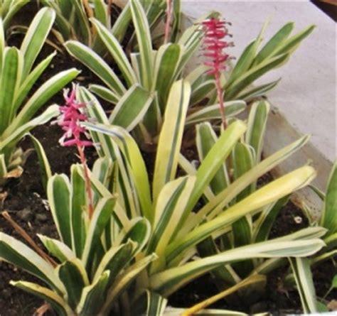 Pupuk Untuk Bunga Lili ciri ciri dan manfaat tanaman hias lili