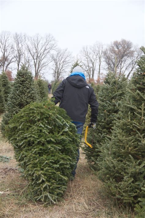 cut your own christmas tree b j evergreen of central