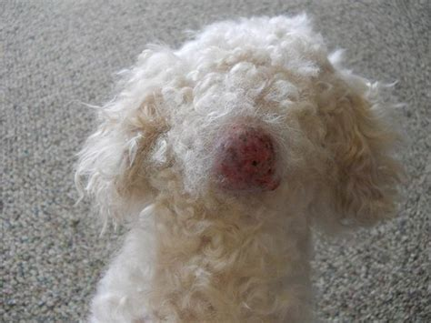 cysts on dogs cyst on 6 cyst pictures to consider biological science picture directory