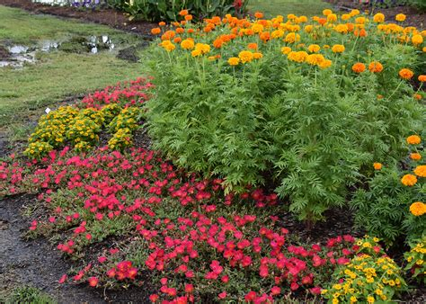 marigold color marigolds supply lasting color help for tomatoes