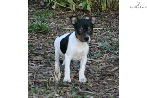 rat terrier puppies for sale rat terrier puppies rat terrier breeders rat terriers for sale rat breeds picture