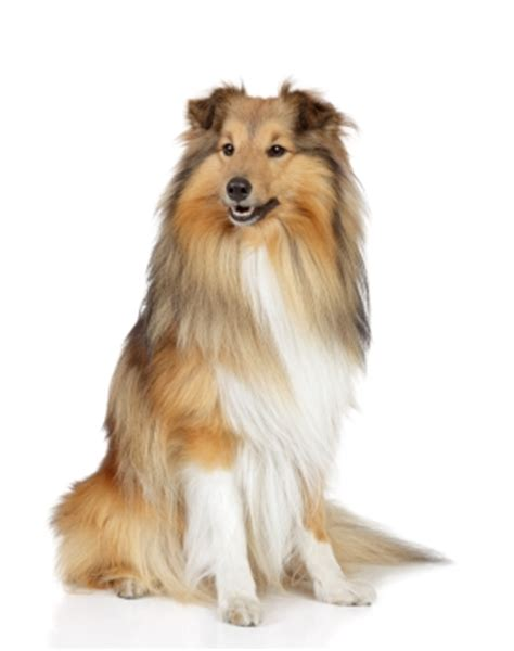 most trainable dogs 10 most trainable breeds animalssale