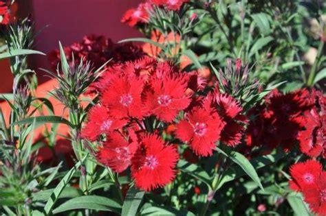dianthus rockin red goode greenhouses
