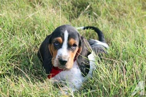 basset hound puppies oklahoma basset hounds available this weekend for sale in moyers oklahoma classified