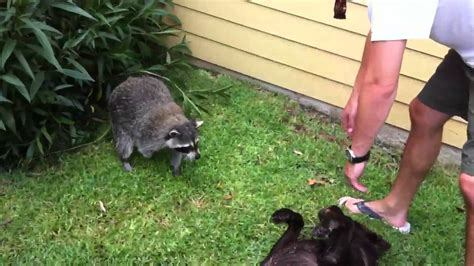 vicious attacks raccoon attacking www pixshark images galleries with a bite