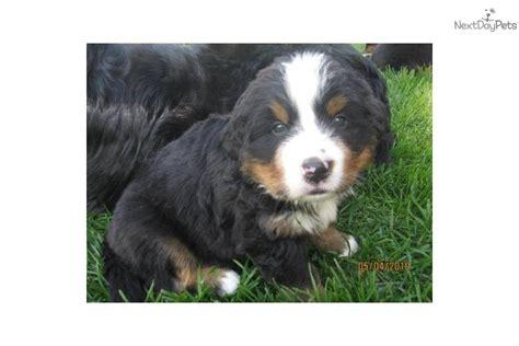 bernese mountain puppies mn bernese mountain puppy for sale near minneapolis st paul minnesota 874f6261 80a1