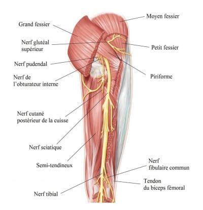 muscolo sedere de la cuisse