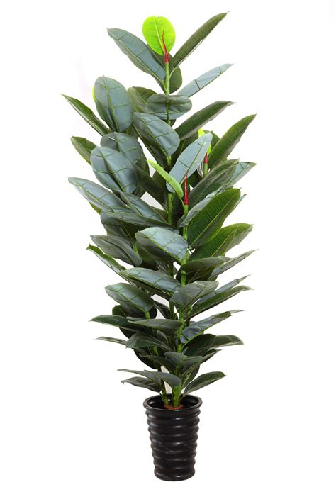 rubber fig indian rubber plant indian rubber tree ficus elastica