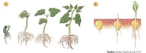 cara membuat zat pengatur tumbuh organik proses pertumbuhan tumbuhan pertanian carapedia