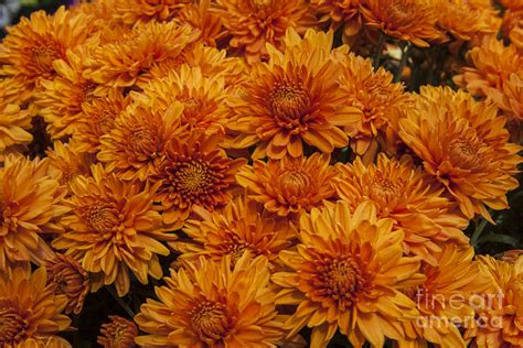 orange mums photograph by darleen stry
