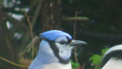 fur feathers paws and claws the blue jay