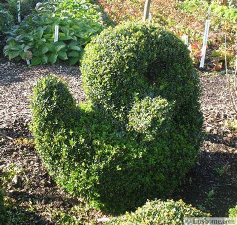 decorative yard plants 25 and 30 new topiary ideas great decorative plants to