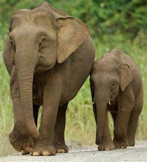 elephant biography in hindi the great indian elephant