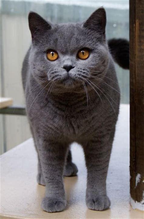 Kucing Shorthair ingin memiliki kucing shorthair baca ini dahulu
