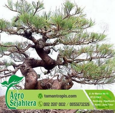 Jual Bibit Bonsai jual bibit koleksi hias bonsai cemara
