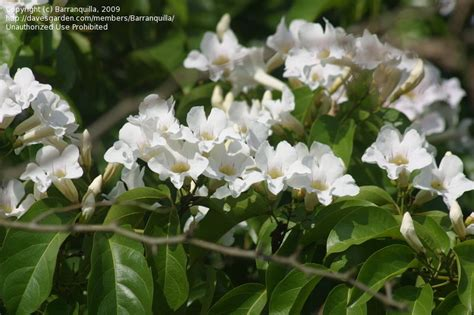 plant identification white flowering tropical vine 1 by barranquilla