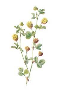 antique images free flower graphic wildflower clip art
