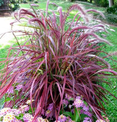 pennisetum setaceum fireworks fine gardening