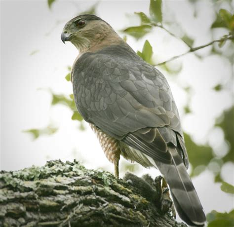 i heart florida birds a cooper s hawk