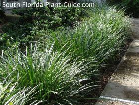 grass  plants liriope mondo grass  aztec grass