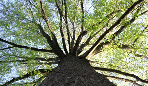 maple tree environment trees in arlington county environment