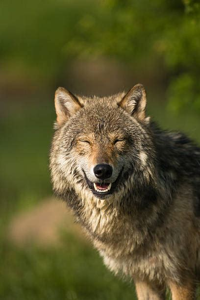 Smiling Wolf royalty free wolf teeth pictures images and stock photos