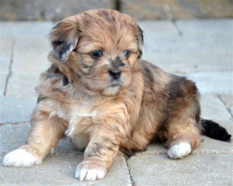 peekapoo puppies my new peekapoo puppy whiskey furbabies i for
