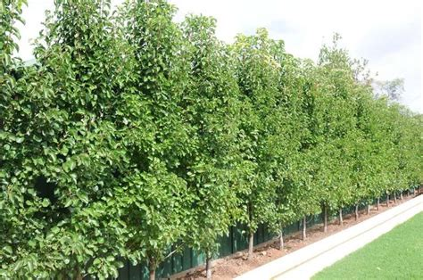 upright ornamental pear trees planted in a row for natural screening garden and plants
