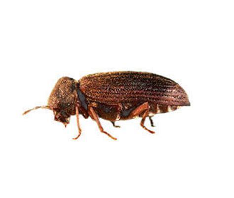 couch beetles il tarlo del legno danni e soluzioni rentokil italia