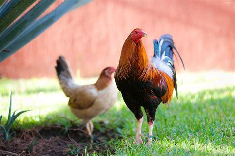 gallo a gallos de combate en mexico mercado libre
