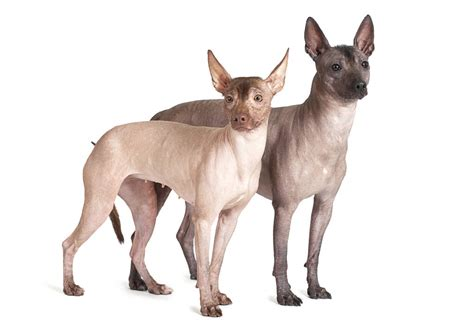 Mexican Hairless   Dogs   Breed Information   Omlet