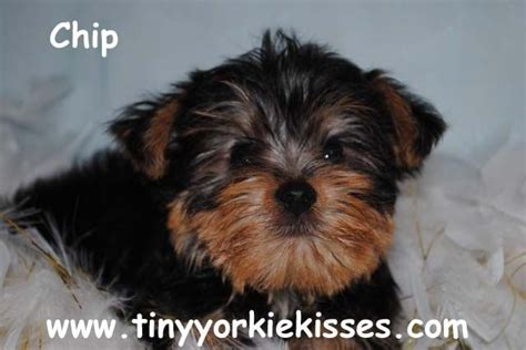 yorkie puppies for adoption in bay area teacup yorkie puppies for sale ca for sale adoption from fairfield california monterey