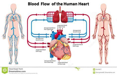 diagram of the and blood flow diagram of blood flow in organ anatomy