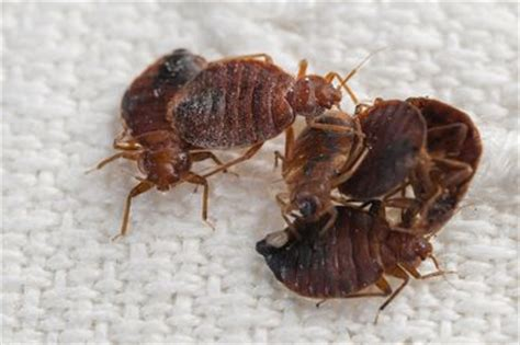 kids smoking bed bugs how to avoid bed bugs when you travel