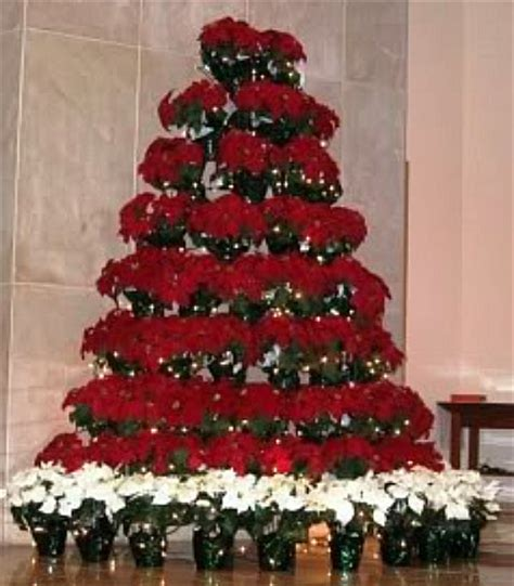 grow a live poinsettia tree euphorbia pulcherrima is a giant