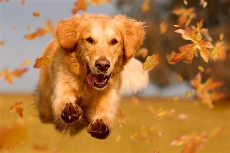 comfort dental golden co jojo the comfort dog that helps children at a dentist s