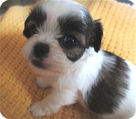 shih tzu rescue in michigan kalamazoo mi shih tzu poodle miniature mix meet boing a puppy for adoption