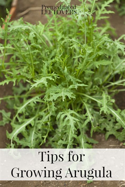 grow arugula tips  guide  growing arugula
