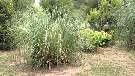 trim  burn pampas grass   growing season part iii youtube